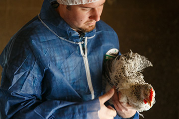 Poultry Technician wearing a biosecurity holding a chicken