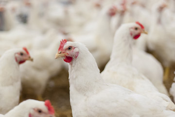 Cage-free white pullets